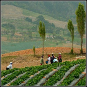 cultivo-en-valle-nuevo