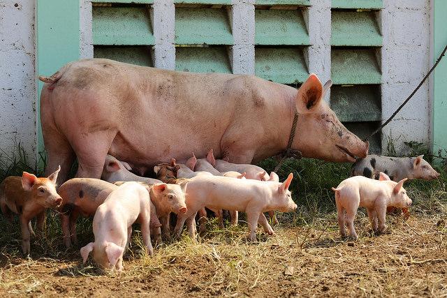 Medina ofrece apoyo para ggranja cerdos