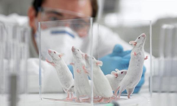 Ratones con cáncer de páncreas