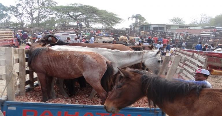 Haitianos compran caballos en RD