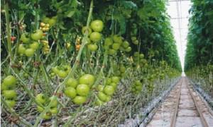 Tomates producidos en invernadero