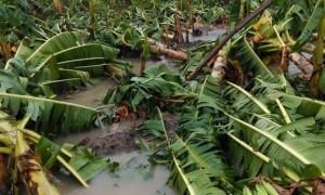 Plantación de plátanos dañada por Laura